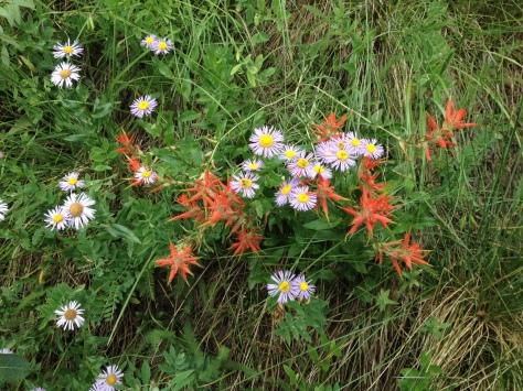wildflowers american lake